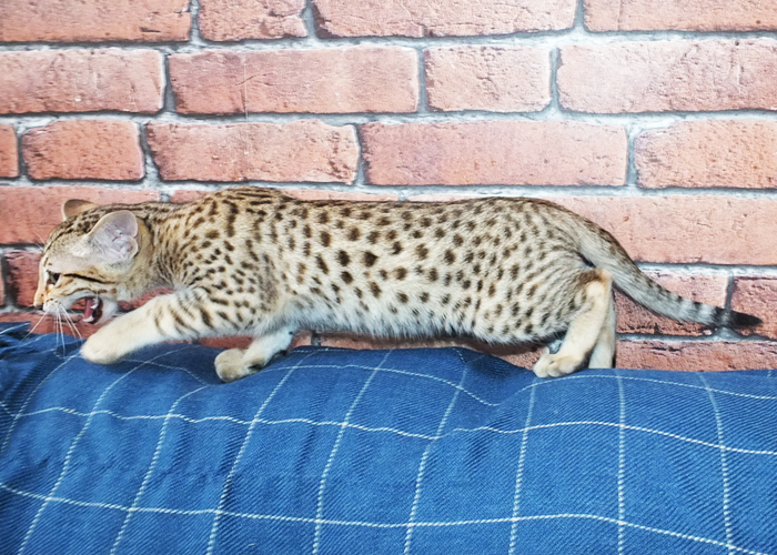 Savannah Cats And Kittens For Sale