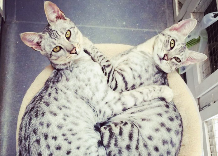 Savannah cat colours: Silver